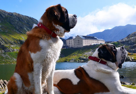 Photo St Bernards